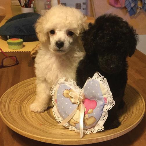 cuccioli barbone toy bianco e nero